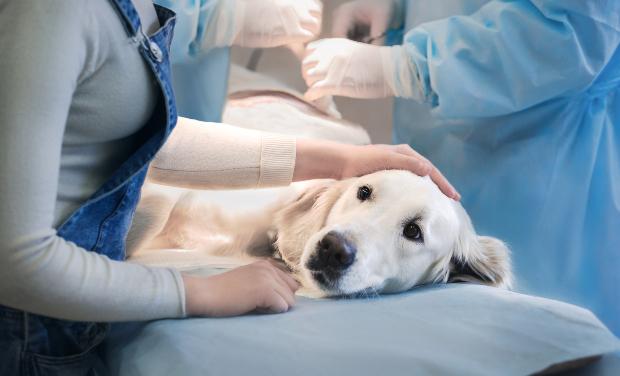Ein Hund liegt bei einem Tierarzt auf dem OP-Tisch Hat sich der Hund überfressen?