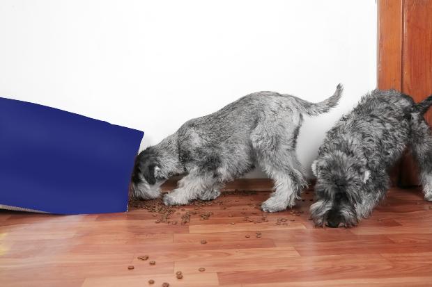 Zwei junge Hunde haben eine Tüte mit Trockenfutter geöffnet und machen sich über den Inhalt her Hat sich der Hund überfressen?
