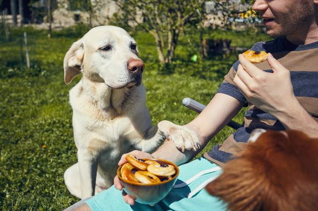 Ein Hund bettelt sein Herrchen an, ihm etwas von seinem Essen abzugeben