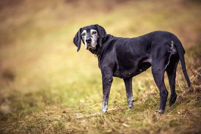 Ältere Hund steht auf Wiese - Gleitwirbel bei Hunden kommt bei älteren Hunden vor
