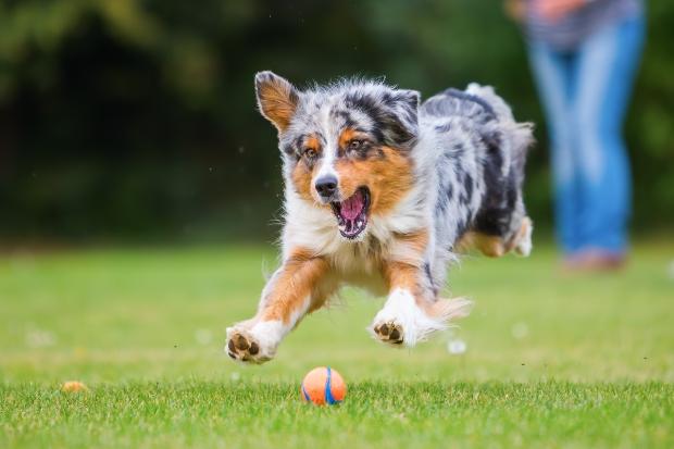 Hund jagt kleinen Ball - Pansenmehl für Hunde bringt viel Energie