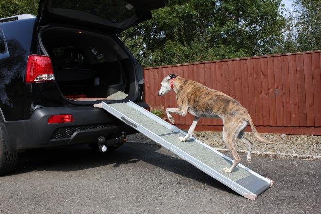Alter Hund steigt eine Rampe hoch, um hinten in ein Auto zu steigen