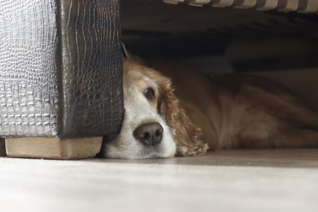 Hund kauert unter einer Couch - Typisches Meideverhalten