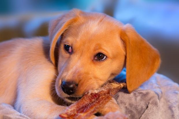 Welpe frisst Kamelfleisch für Hunde