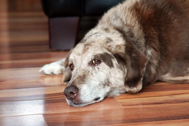 Hund liegt müde/traurig auf dem Boden - Gleitwirbel bei Hunden verursacht Schmerzen