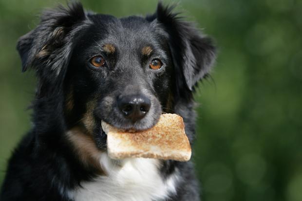 Hund mit Toast im Maul - Leckeres Hundebrot