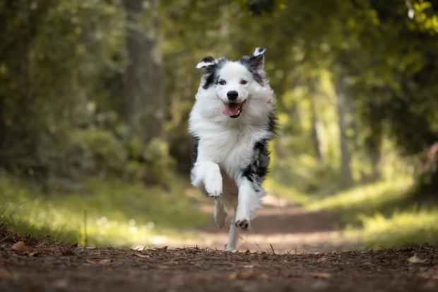 Hund rennt durch Wald