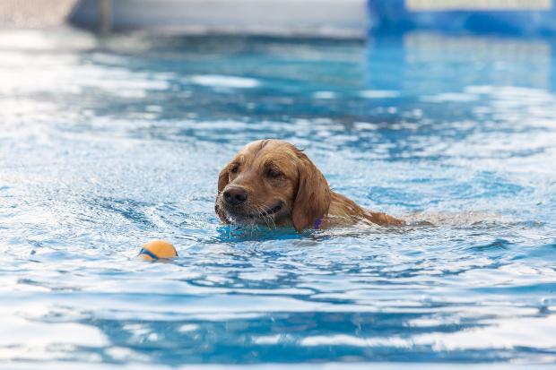 Hund schwimmt im Pool und holt einen Ball