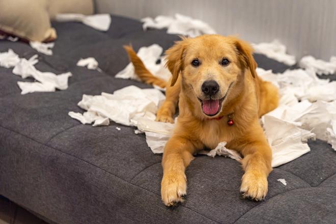 Welpe auf einer Couch hat Papier zerfetzt - das kann schonmal Welpenblues auslösen