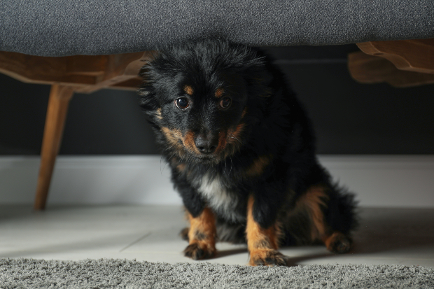 Ängstlicher Hund sitzt unter einem Sofa