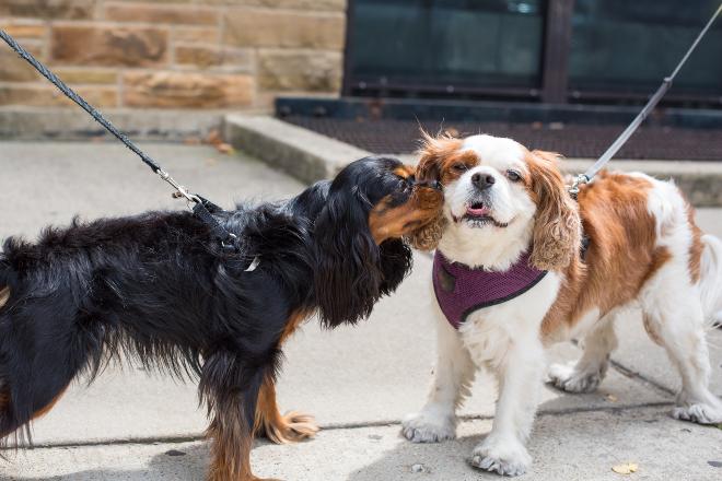 2 angeleinte Hunde beschnüffeln sich