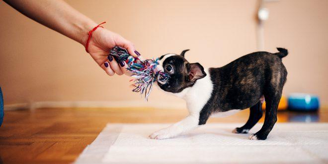 Hund mag Zerr- bzw. Beutespiele