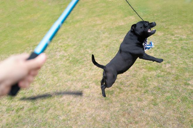 Spring- oder Flirtpole wird für Zerrspiel genutzt - Hunde mögen Beutespiele