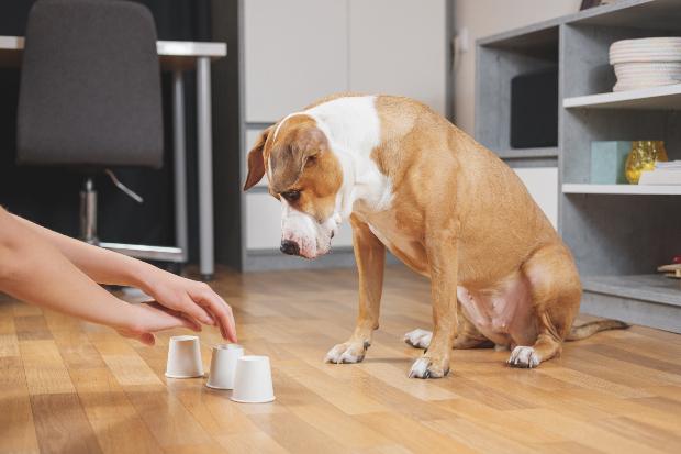 Hund spielt Hütchenspiel mit Herrchen