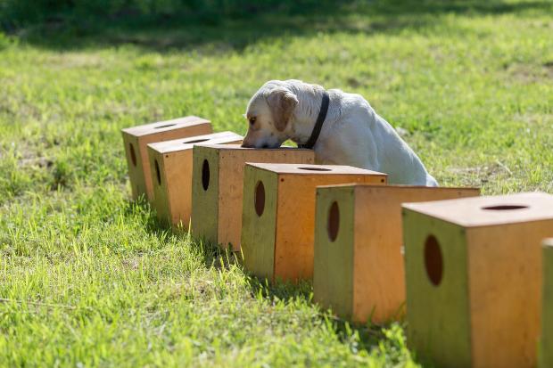 Hund schnüffelt in diversen Holzkisten herum