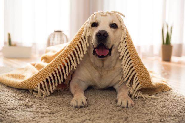 Kleiner Hund kuschelt unter einer Decke
