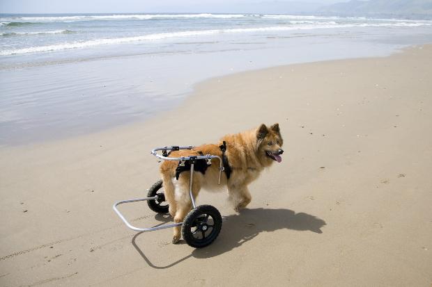 Hund mit Gehhilfe