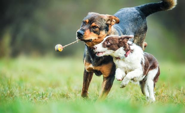 2 Hunde jagen nach einem Spielzeug