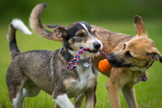 2 Hunde rangeln um ein Spielzeug - sie lieben Beutespiele