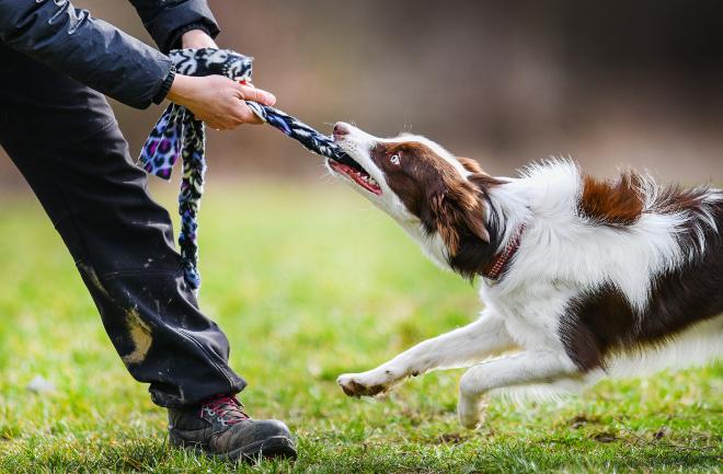 Ausbilder lässt Hund an Tau ziehen