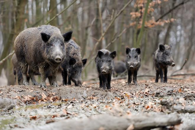 Wildschweine im Wald - Wildschweinfleisch ist eine gesunde Nahrung für Hunde