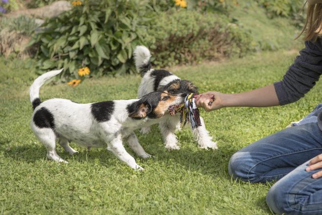 2 junge Hunde zerren an Seil