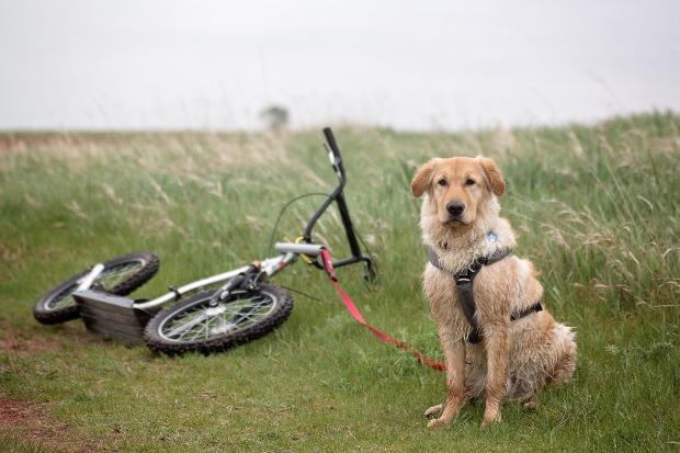 Hund sitzt, er ist an einen Dogscooter gekoppelt