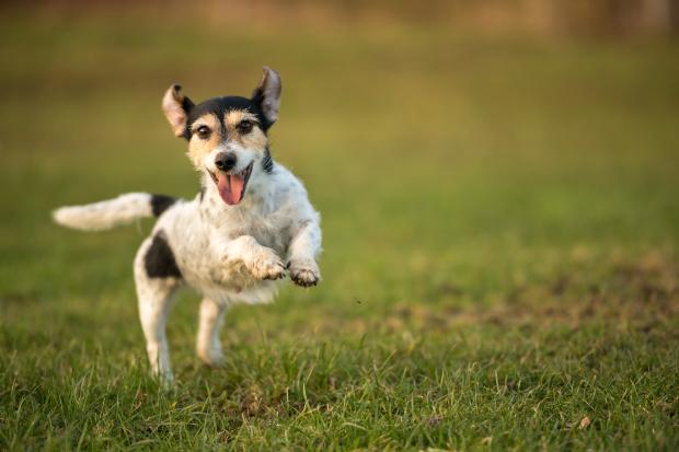 Junger Hund springt fröhlich über den Rasen
