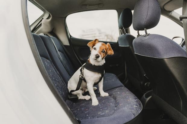 Junger Hund sitzt hinten im Auto - eine mögliche Ursache für eine Wasserrute