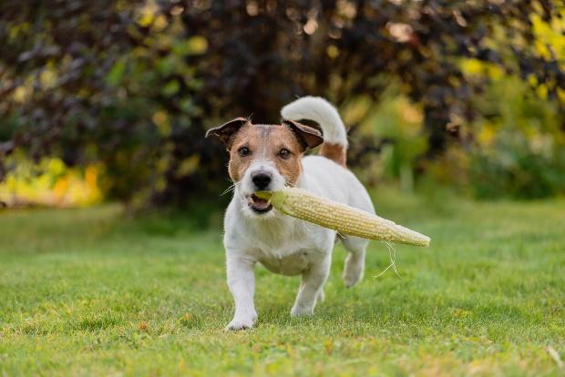 Hund mit Maiskolben in der Schnauze