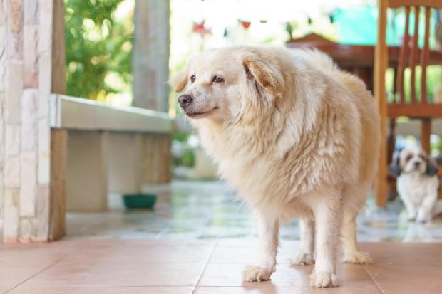 Hund, etwas übergewichtig