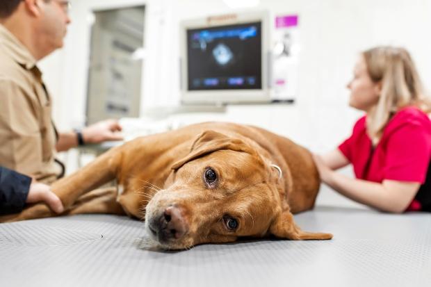 Hund liegt beim Tierarzt und wird untersucht