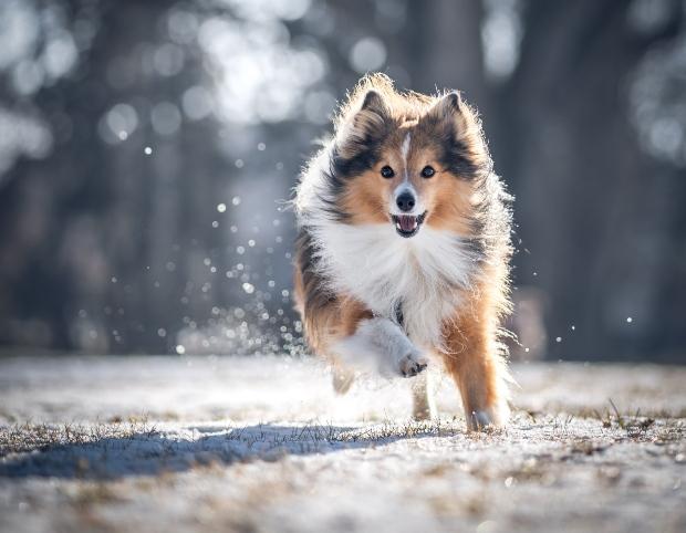 Gesunder Hund rennt