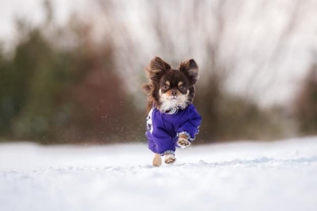 Chihuahua läuft mit Weste durch den Schnee