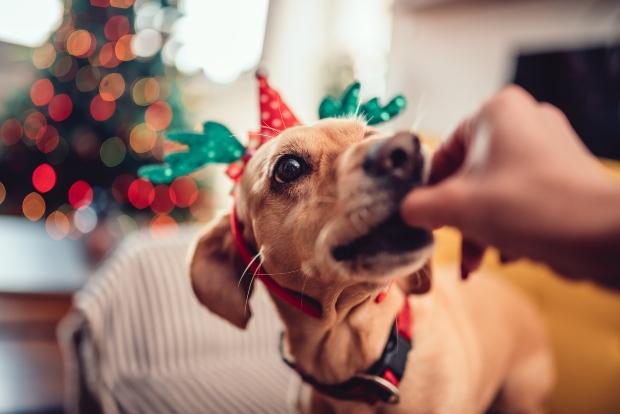 Hund mit Weihnachtshütchen bekommt Snack - Frohe Hundeweihnachten