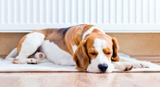 Hund liegt auf Matte an der Heizung - Magendrehung beim Hund tritt eher in Ruhestellung auf