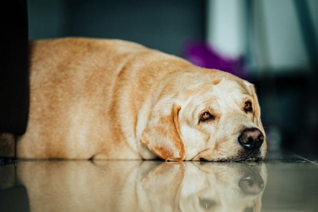 Übergewichtiger Hund liegt auf dem Fußboden