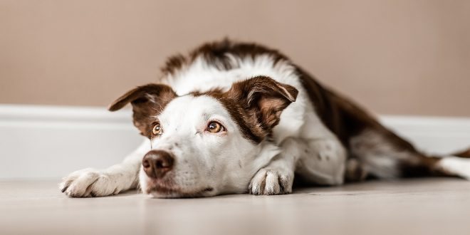 Trauriger Hund - Lebererkrankung bei Hunden