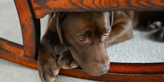 Angsthund versteckt sich unter Stuhl