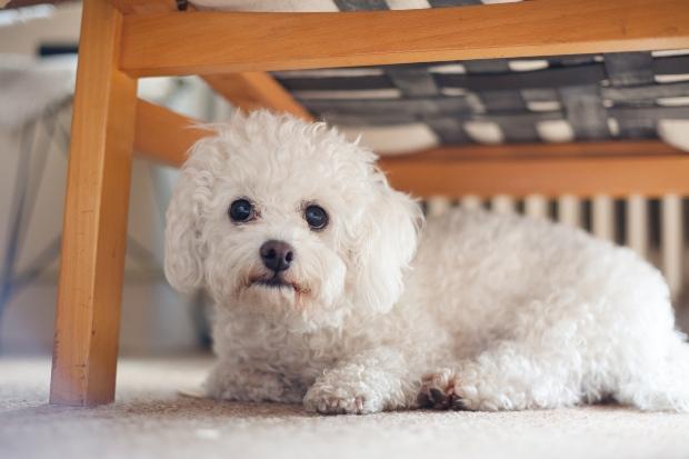 Junger Angsthund sitzt unter Stuhl