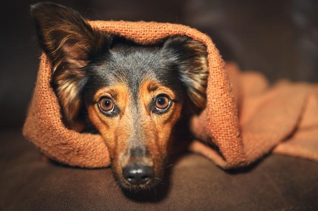 Junger Angsthund liegt unter einer Decke mit weit aufgerissenen Augen
