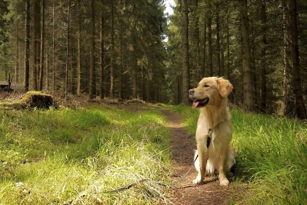 Junger Retriever sitzt am Waldweg