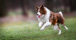 Hund rennt - Kondition beim Hund aufbauen