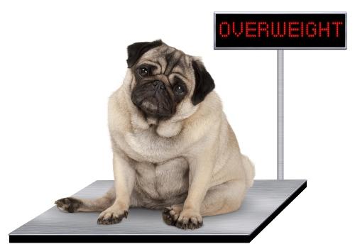 Übergewichtiger Hund auf der Waage - Dickmacher für Hunde vermeiden