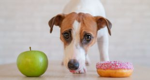 Hund mit Apfel und Doughnut - Zucker für Hunde