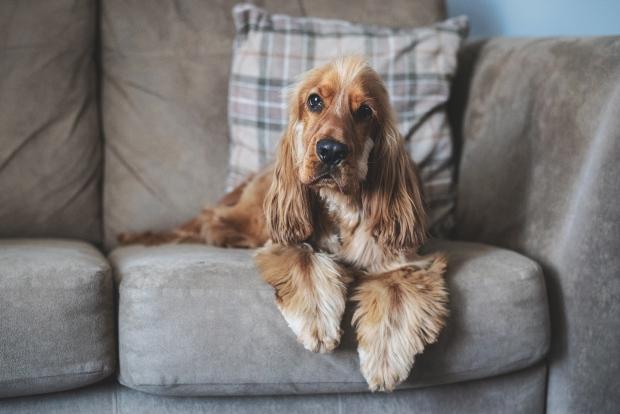 Hund sitzt träge auf der Couch - Kondition beim Hund aufbauen nach dem Winter