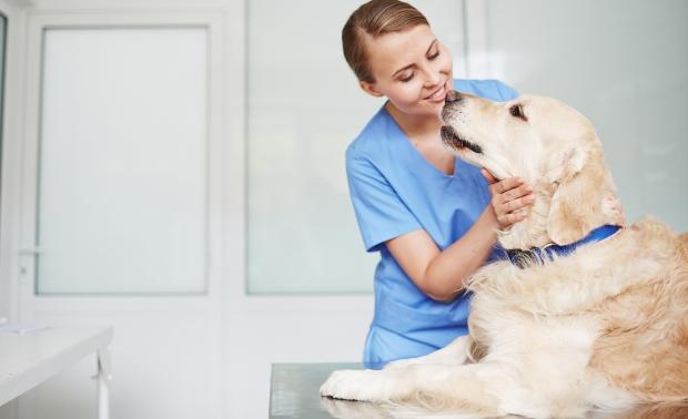 Labrador Hund beim Tierarzt - Dickmacher für Hunde vermeiden