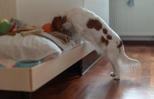Hund sucht im Bett nach Leckerli - Schnüffelspiele für Hunde