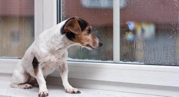 Hund sitzt traurig am Fenster - vielleicht ist der Hund unterfordert