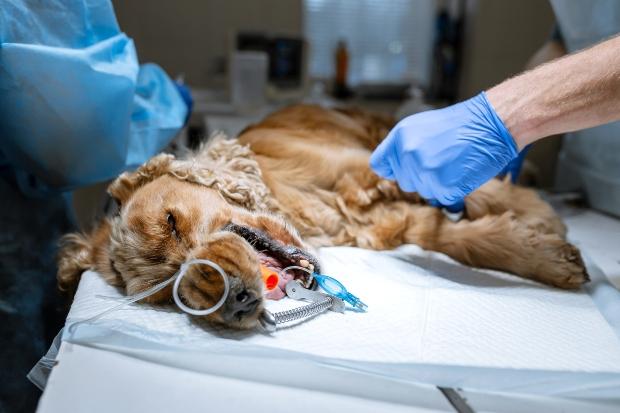 Hund wird operiert - Karies beim Hund verhindern durch gute Hygiene
